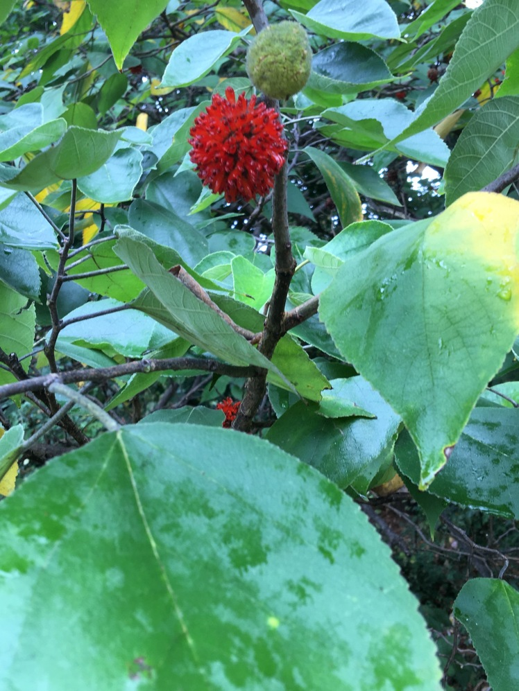 Paper mulberry fruit